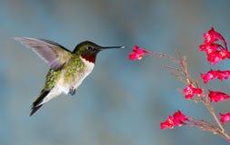 De Kolibrie van Rubythroated Stock Afbeeldingen