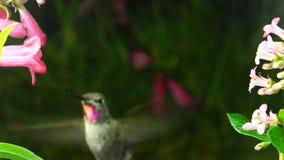 De kolibrie verschijnt plotseling onder bloemen stock footage