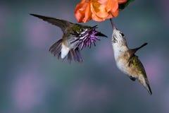 De Kolibries van Calliope Stock Fotografie