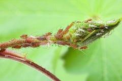 De kolonie van de bladluis stock foto's