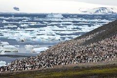 De kolonie van de pinguïn in Antarctica stock afbeeldingen