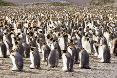 De Kolonie van de Pinguïn van de koning royalty-vrije stock foto's