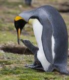 De Kolonie van de Pinguïn van de koning - Falkland Eilanden Stock Afbeeldingen