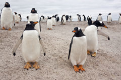 De Kolonie van de Pinguïn van Gentoo - Falkland Eilanden Stock Foto's