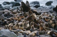De kolonie van de V.S. Alaska St. Paul Island van Noordelijke Bontverbindingen op rotsachtige kust Royalty-vrije Stock Afbeelding