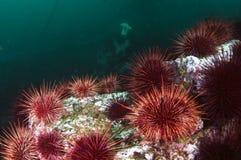 De Kolonie van de zeeëgel royalty-vrije stock afbeelding
