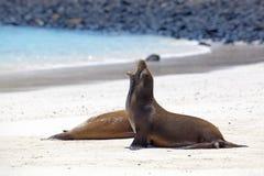 De kolonie van de zeeleeuw royalty-vrije stock foto