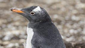De Kolonie van Gentoopinguïnen op de Eilanden van de Falkland Eilanden stock foto's