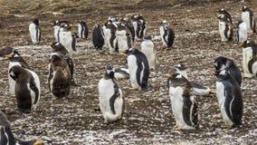 De Kolonie van Gentoopinguïnen op de Eilanden van de Falkland Eilanden royalty-vrije stock foto