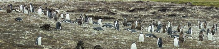 De Kolonie van Gentoopinguïnen op de Eilanden van de Falkland Eilanden royalty-vrije stock afbeeldingen