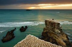 De kolonie van het jan-van-gent, Nieuw Zeeland stock foto's