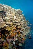 De kolonie van het koraal stock foto's