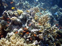 De kolonie van het koraal en koraalvissen. Stock Foto