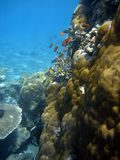 De kolonie van het koraal en koraalvissen. Stock Afbeeldingen