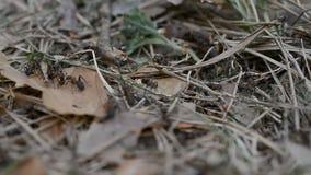 De kolonie van mieren sluit omhoog stock video
