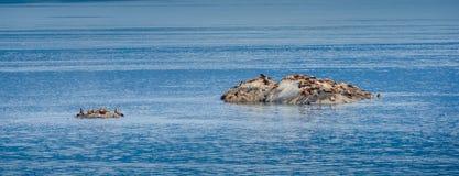 De kolonie van Steller-zeeleeuwen zonnebaadt in de zon Royalty-vrije Stock Foto