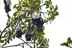 De kolonie van vleerhonden Stock Foto