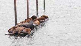 De kolonie van zeeleeuwen legt op houten boatdock in Oregon stock footage