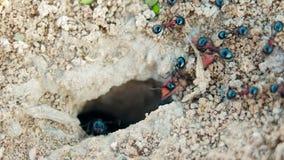 De koloniemieren dragen levering in een gat in het grondclose-up stock videobeelden
