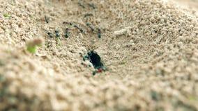 De koloniemieren dragen levering in een gat in het grondclose-up stock footage