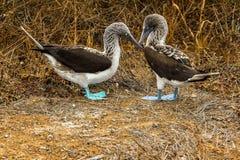De komisch genoeg geroepen blauw-betaalde domoren van de Galapagos, Ecuador Royalty-vrije Stock Foto