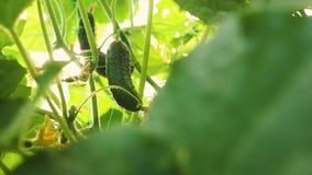 De komkommer groeit op een bloeiende struik Verse die komkommers op open gebied worden gekweekt Aanplanting van Komkommers Groeie stock video