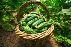 De komkommers zijn gevouwen in een mand in een serre Royalty-vrije Stock Afbeeldingen