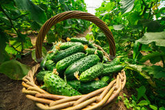 De komkommers zijn gevouwen in een mand in een serre Stock Foto