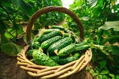 De komkommers zijn gevouwen in een mand in een serre Stock Fotografie