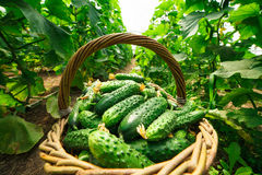 De komkommers zijn gevouwen in een mand in een serre Stock Afbeelding