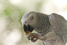 De Kongo Afrikaans Grey Parrot Royalty-vrije Stock Afbeelding