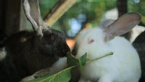 De konijnen eten, grote konijnen, konijnen, eten de konijnen gras stock video