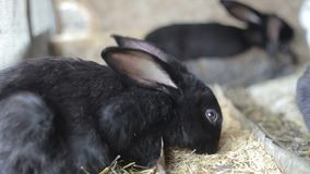 De konijnen eten tarwe, eten de konijnen, konijnenlooppas, konijnen stock video