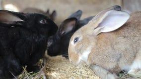 De konijnen eten tarwe, eten de konijnen, konijnenlooppas, konijnen stock footage
