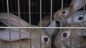 De konijnen in de kooi eten gras stock footage