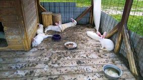 De konijnen van het fokken Royalty-vrije Stock Fotografie
