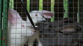 De konijnen van vleesras zitten in een kooi stock videobeelden