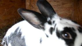 De konijnenfamilie eet stro in kooi stock videobeelden