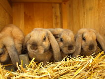 De konijntjes van de lente Stock Foto