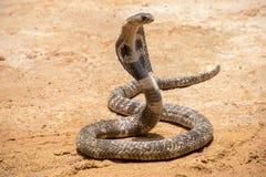 De Koning Cobra op zand stock fotografie