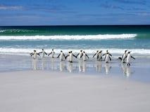 De koning Penguin Group, Aptenodytes-patagonica, springt in het overzeese Vrijwilligerspunt Vrijwilligerspunt, de Falkland Eiland royalty-vrije stock foto's