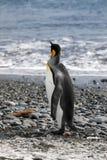De koning Penguin kijkt uit aan overzees in de Vlakte van Salisbury op Zuid-Georgië royalty-vrije stock fotografie
