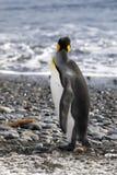 De koning Penguin kijkt uit aan overzees in de Vlakte van Salisbury op Zuid-Georgië stock foto's