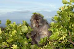 De koning van de aap Stock Afbeeldingen