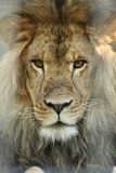 De koning van de leeuw Stock Foto's