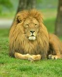 De Koning van de leeuw Stock Foto