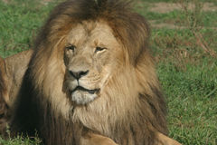 De koning van de leeuw Royalty-vrije Stock Foto