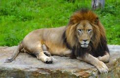 De Koning van de leeuw Stock Fotografie