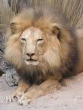 De Koning van de leeuw Stock Afbeeldingen