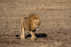 De koning van de leeuw in Masai mara Stock Fotografie